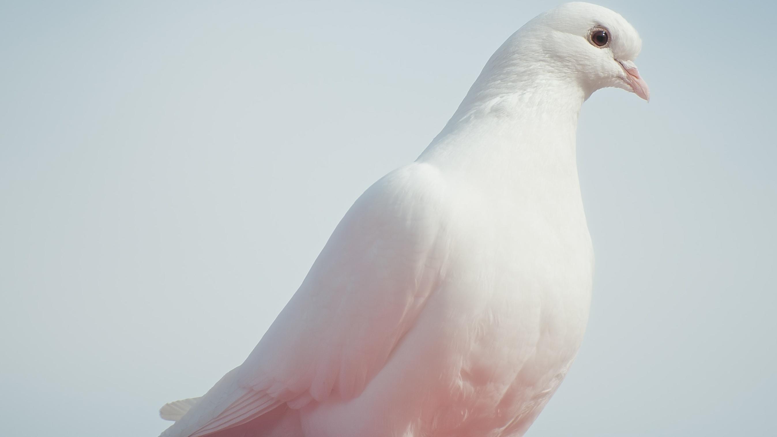 Krafttier Taube - Sie ist auch ein weltweites Friedenssymbol