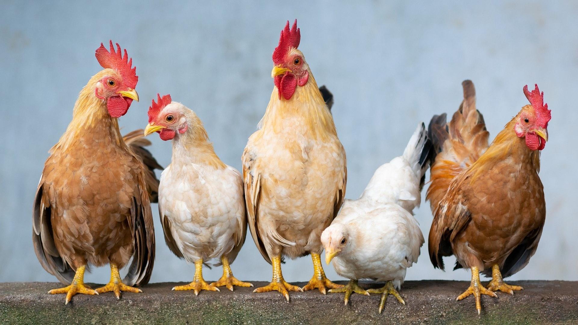 Hühner entwurmen: Was Sie dabei beachten sollten