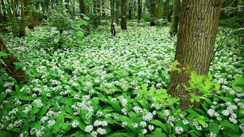 Bärlauch gehört zu den beliebten essbaren Pflanzen, die Sie im Wald sammeln können.
