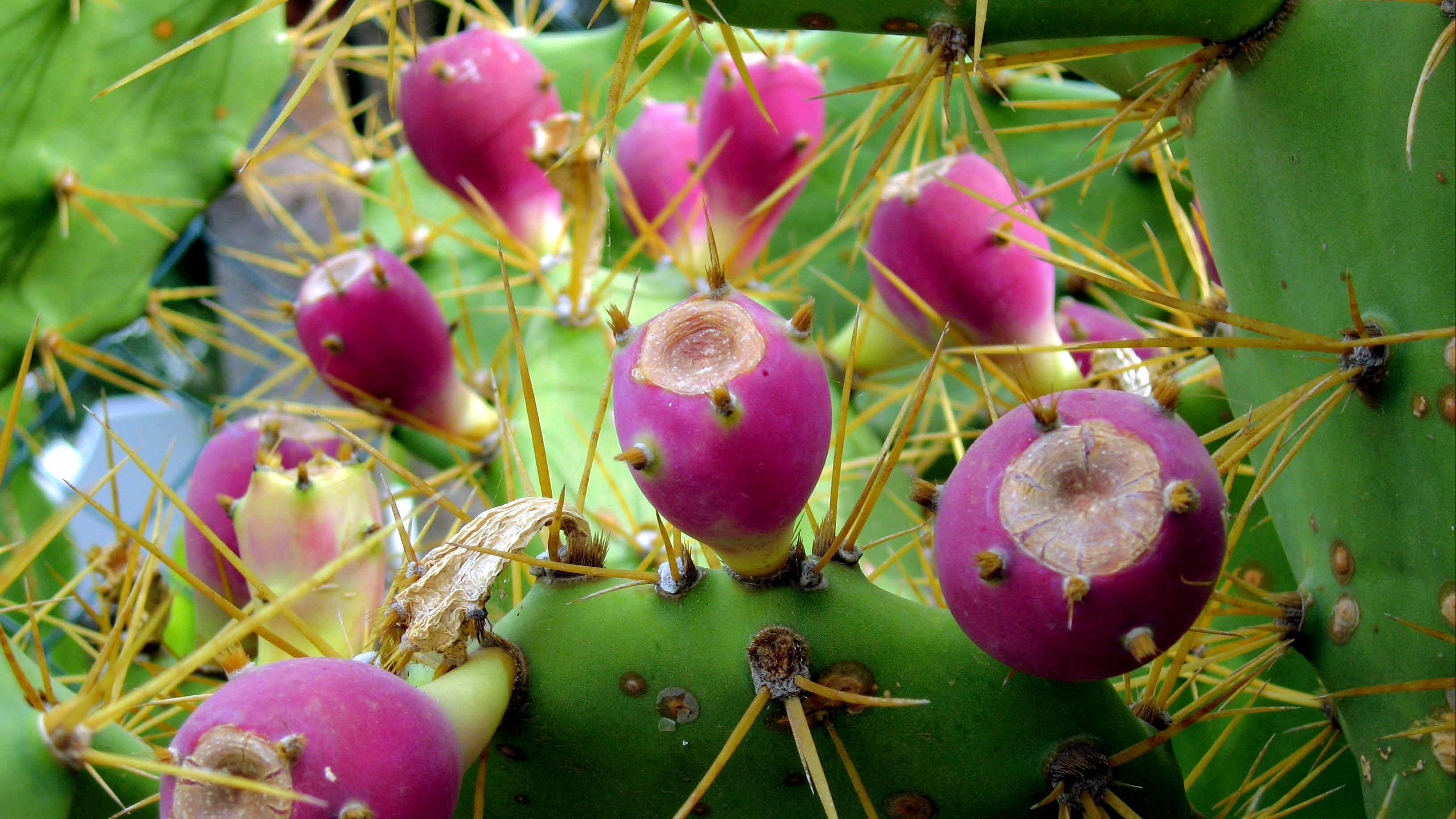 Kaktusfeigen zubereiten: Darauf müssen Sie achten