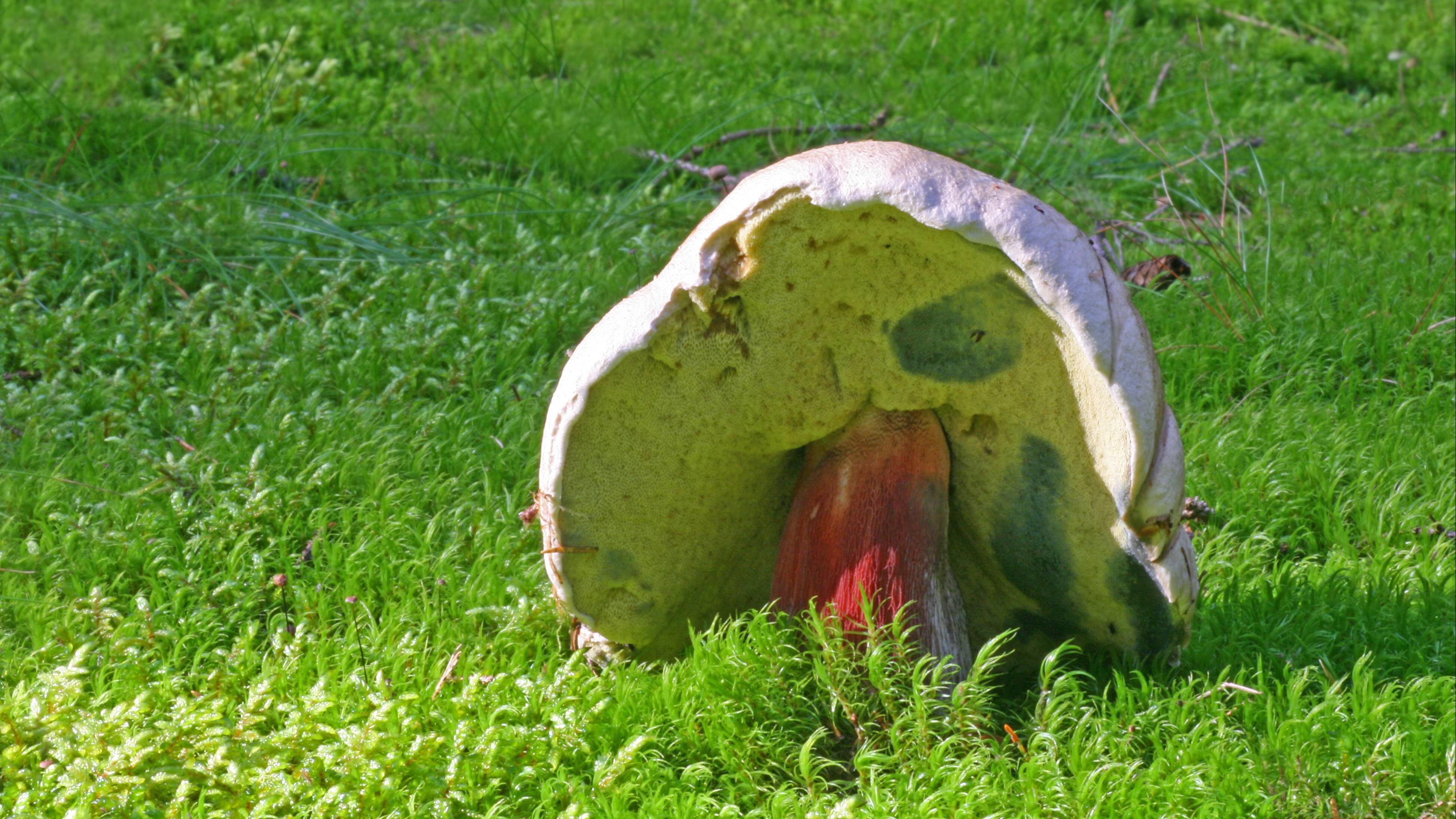 Schönfußröhrling: Das müssen Sie über den Pilz wissen