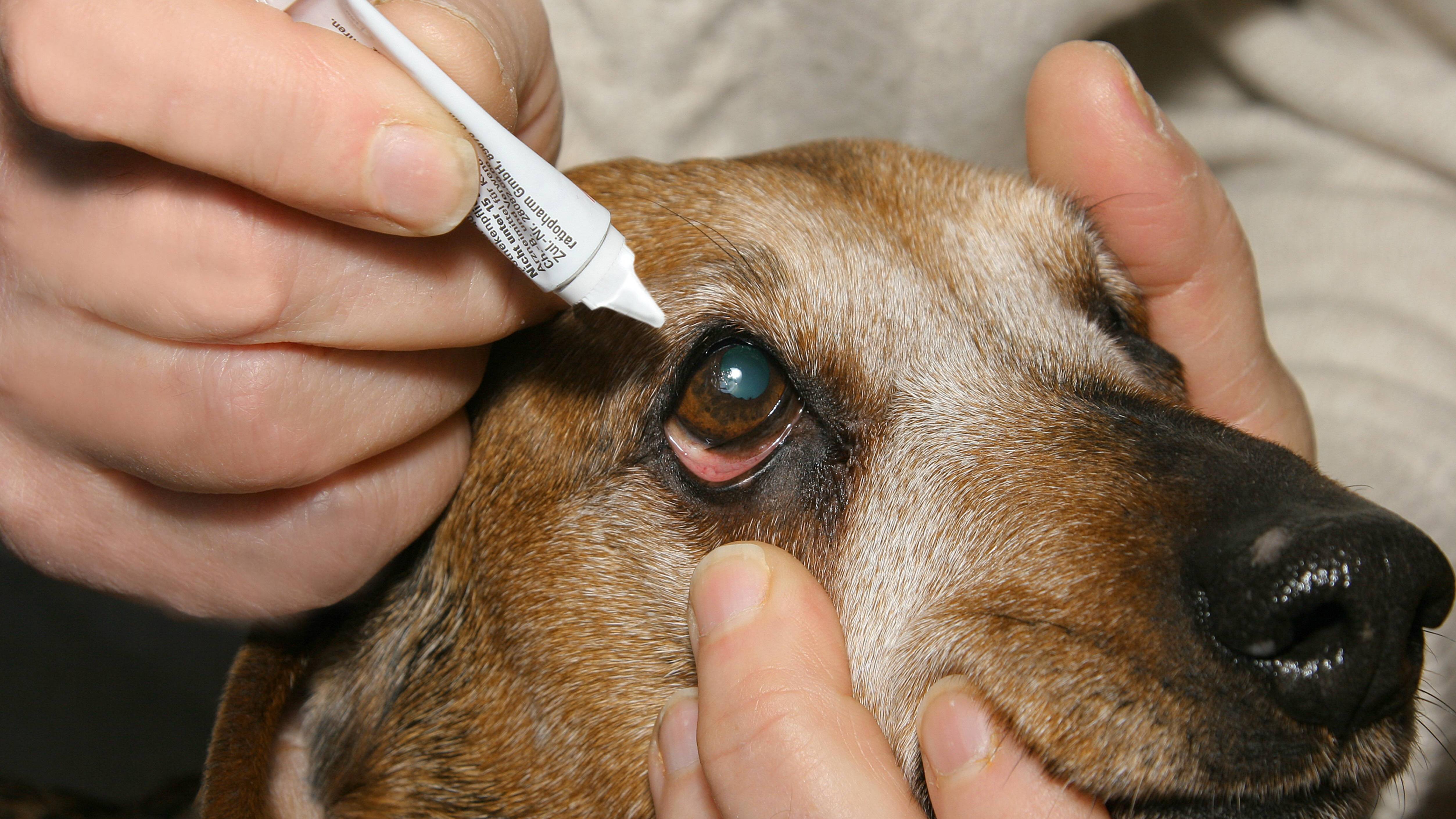 Augensalben werden häufig auch Hunden gegeben. Die Anwendung ist gleich.