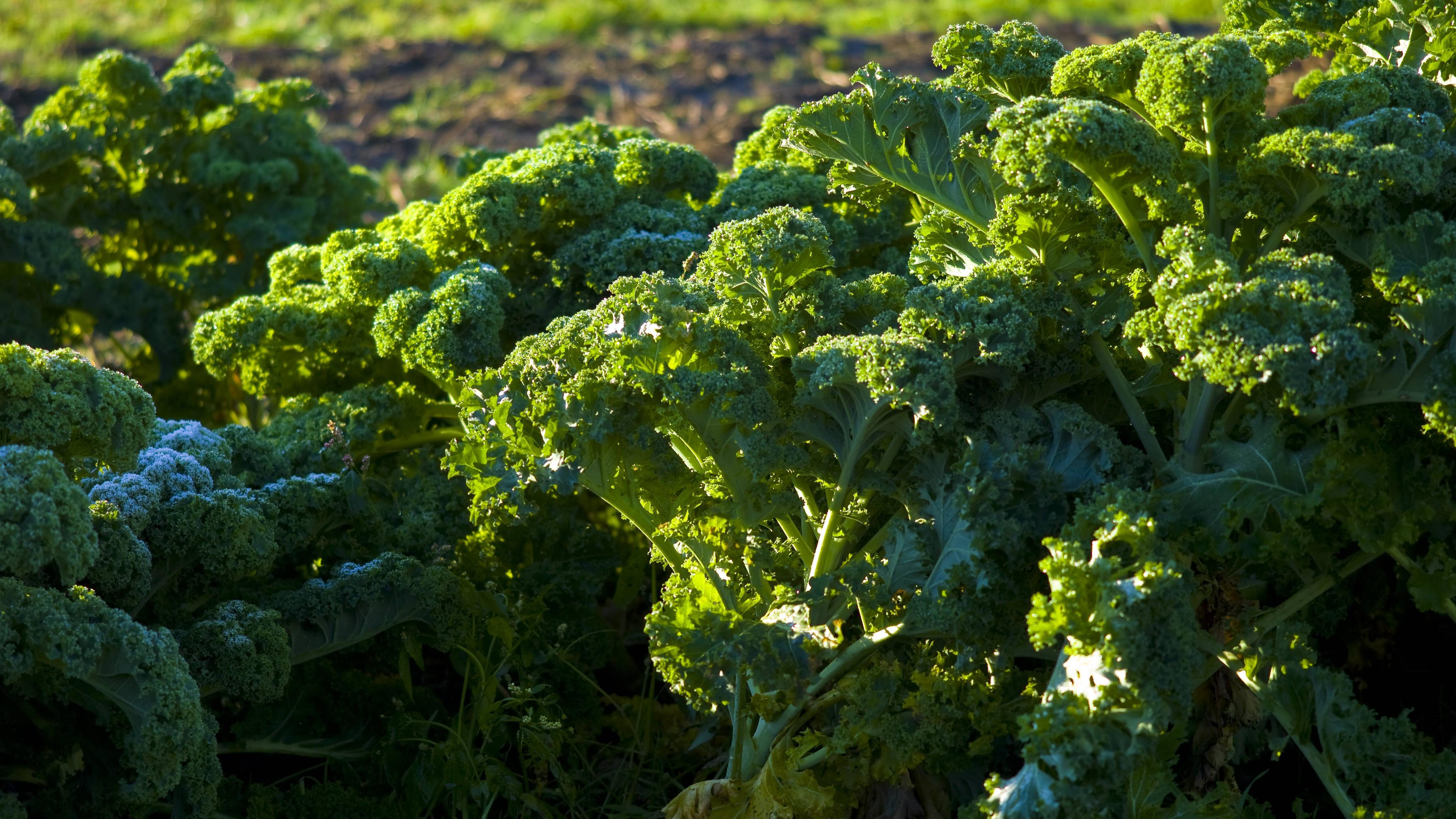 Grünkohl: So gesund ist das leckere Wintergemüse