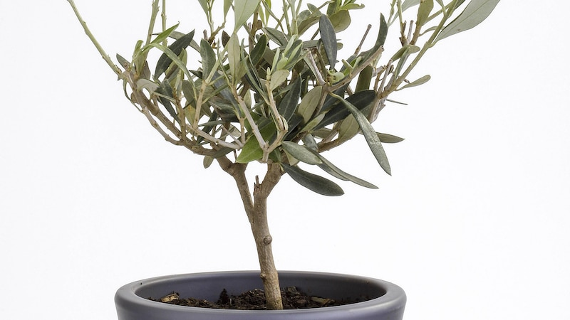 So überwintern Sie Ihren Olivenbaum am besten.