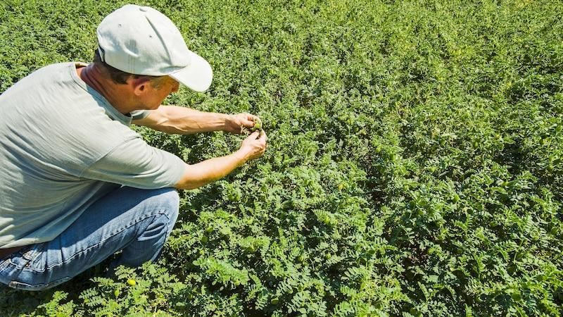 Kichererbsen im eigenen Garten anbauen