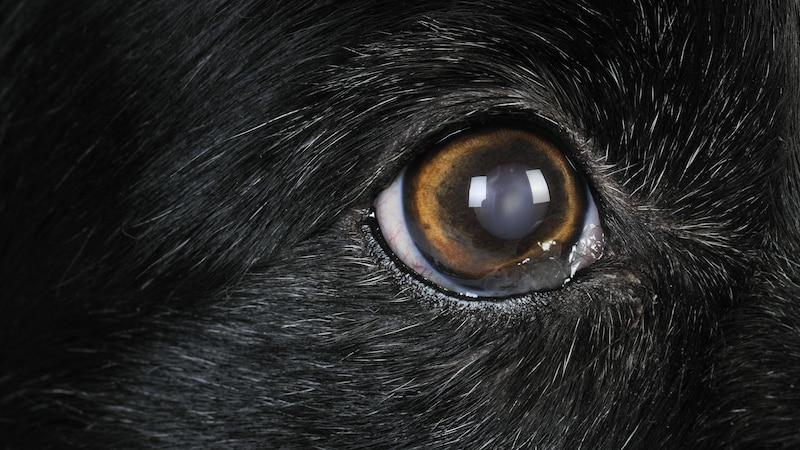 Lassen Sie ein milchiges Auge beim Hund vom Tierarzt untersuchen. Es kann auf eine Hornhautentzündung hinweisen.