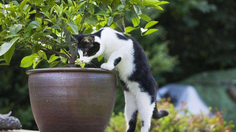 Manche Hauspflanzen sind giftig für Katzen. Sie sollten auf diese Pflanzen verzichten.