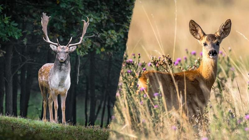 Ein Unterschied zwischen Hirsch (links) und Reh (rechts) ist die Größe der Tiere.