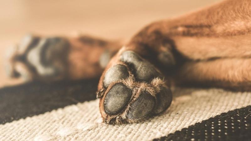 Pfotenpflege beim Hund verhindert Entzündungen