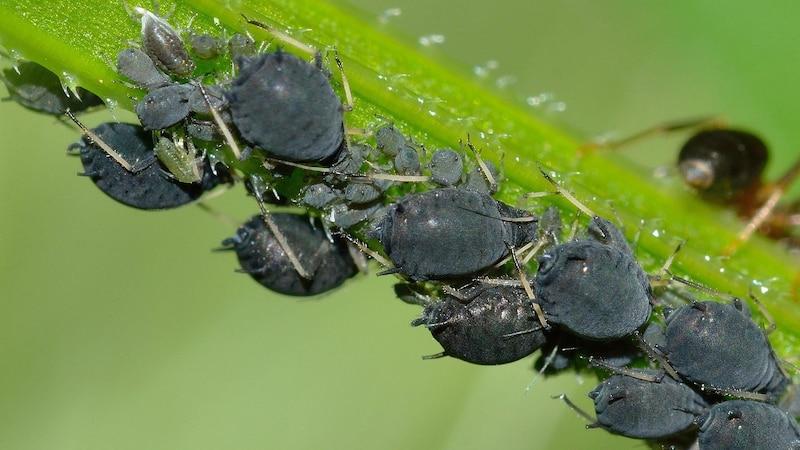 Blattläuse an Zimmerpflanzen: Das können Sie nun tun