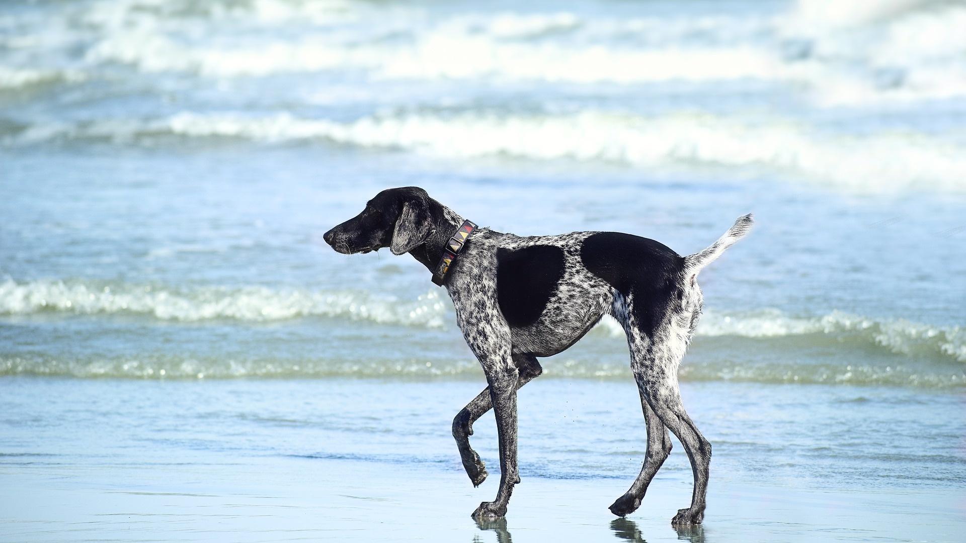 Die Wasserrute beim Hund erkennen Sie an der ungewöhnlichen Haltung.