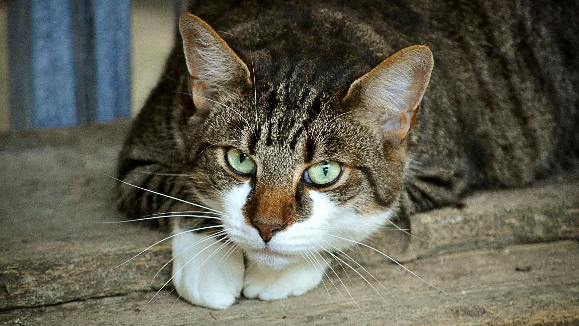 Eine Infektion mit Toxoplasmose-Erregern bleibt bei vielen Katzen häufig unbemerkt.