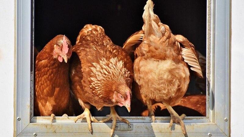 Vor allem bei der Hühnerhaltung lohnt es sich, den Stall zu kalken.