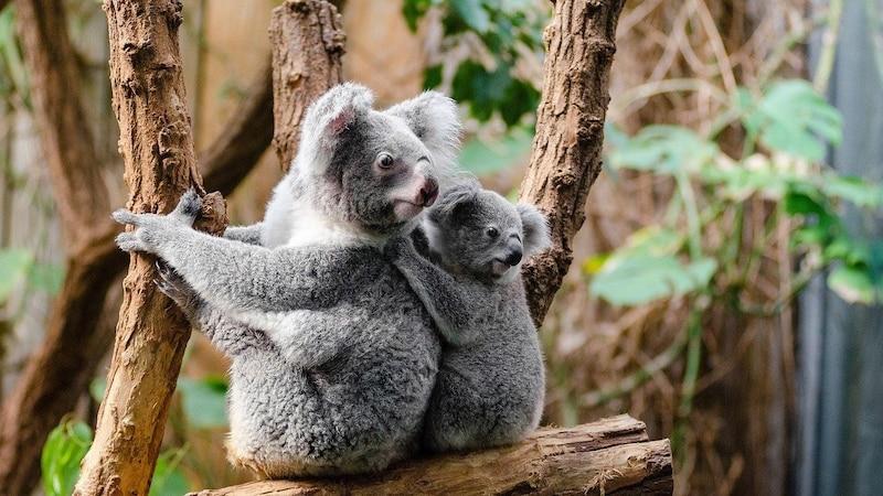 Der Koala im Steckbrief: Das gibt es über die Beuteltiere zu wissen