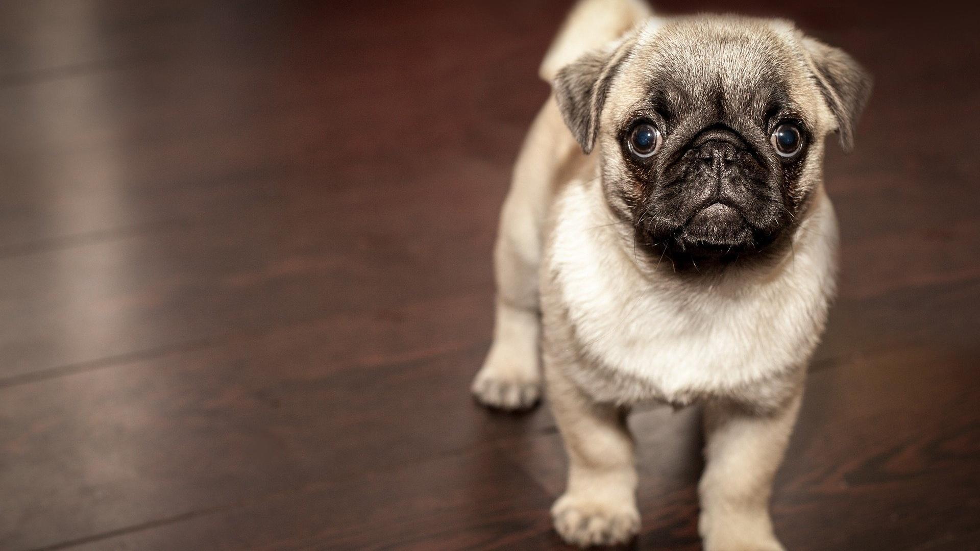 Möpse sind eine ruhige und fröhliche Hunderasse - auch wenn sie nicht so aussehen.