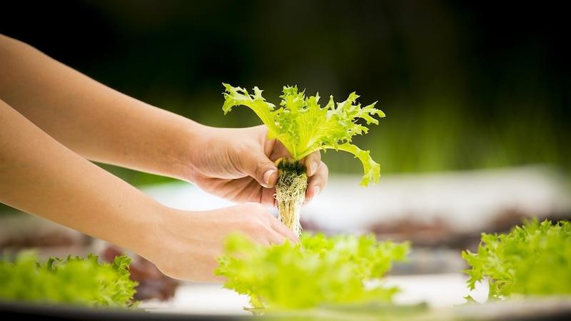 Für die Hydrokultur eignen sich fast alle Zimmerpflanzen, sogar Gemüse kann so angebaut werden.