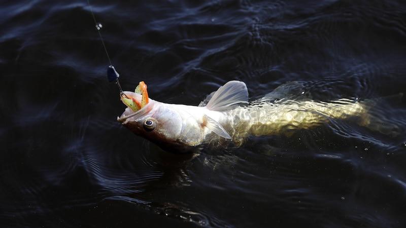 Schonzeiten für den Fisch gelten während die Wassertiere laichen.