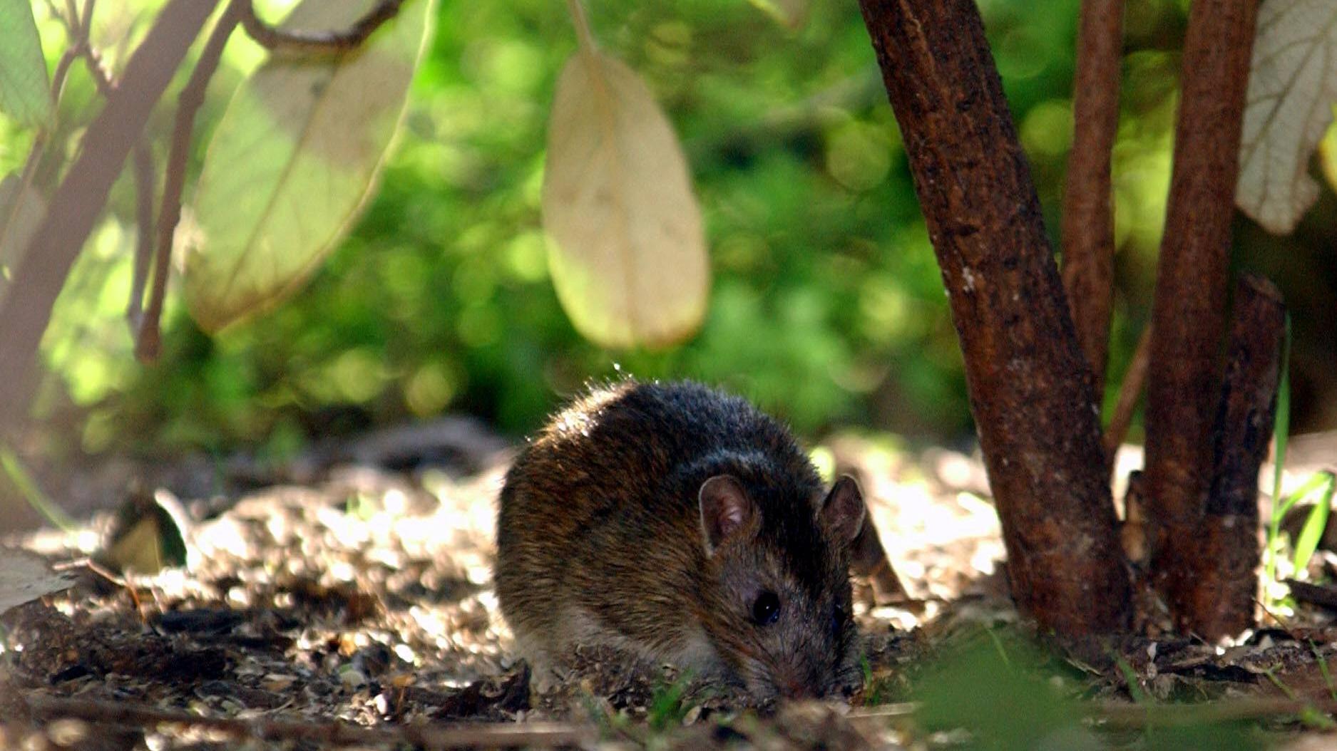 So können Sie Ratten im Garten loswerden
