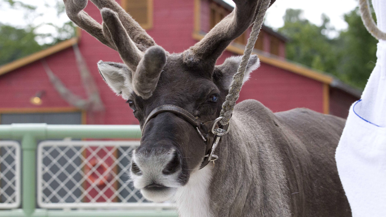 Rentier-Namen: So heißen die Tiere vom Weihnachtsmann