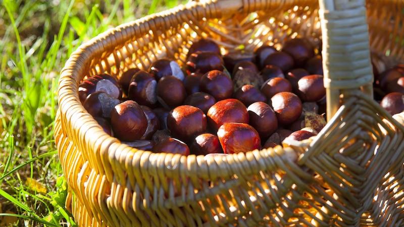 Kastanien sammeln: Die besten Tipps und Ideen