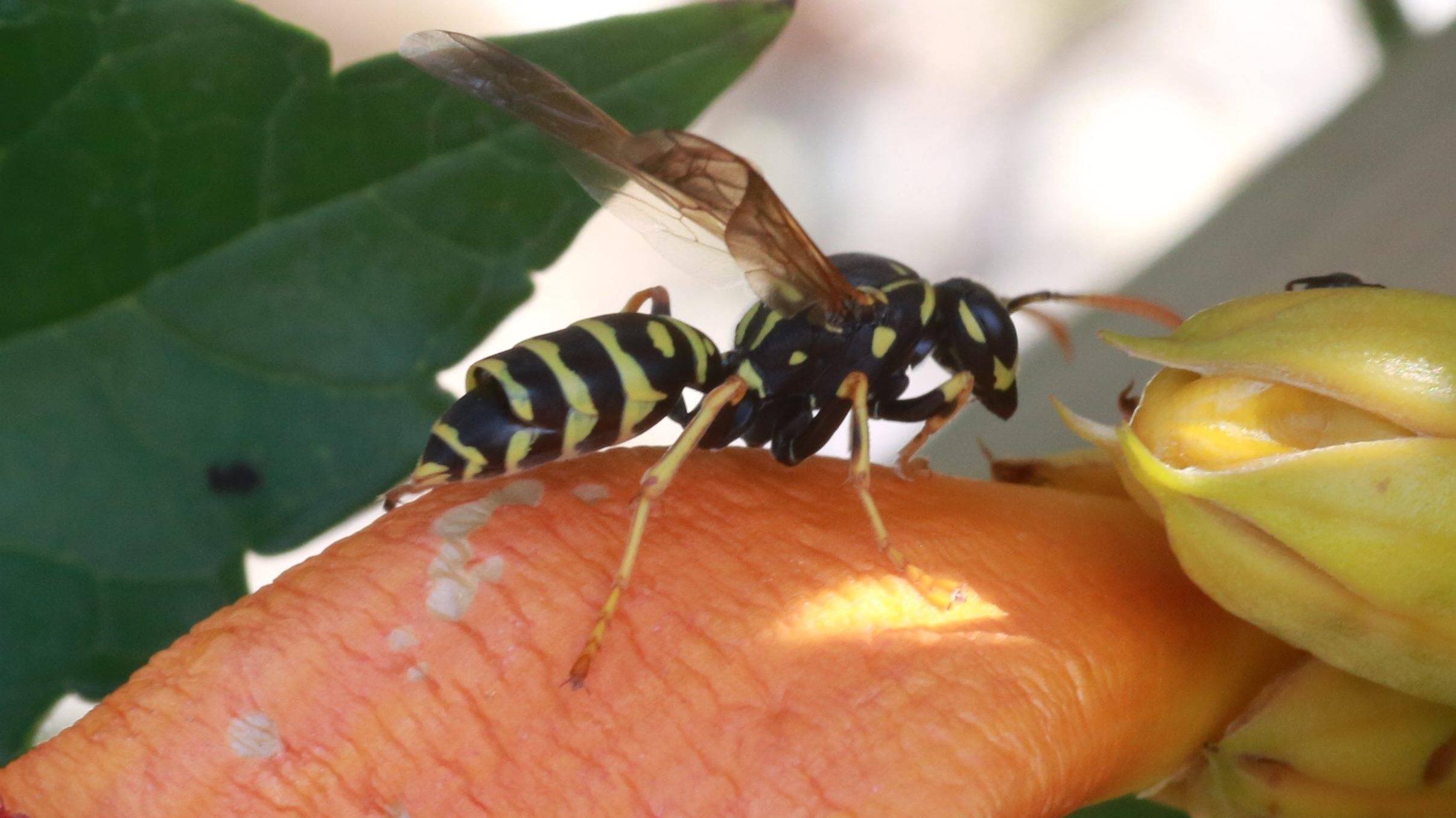 Wespen im Rollladenkasten: So werden Sie sie los