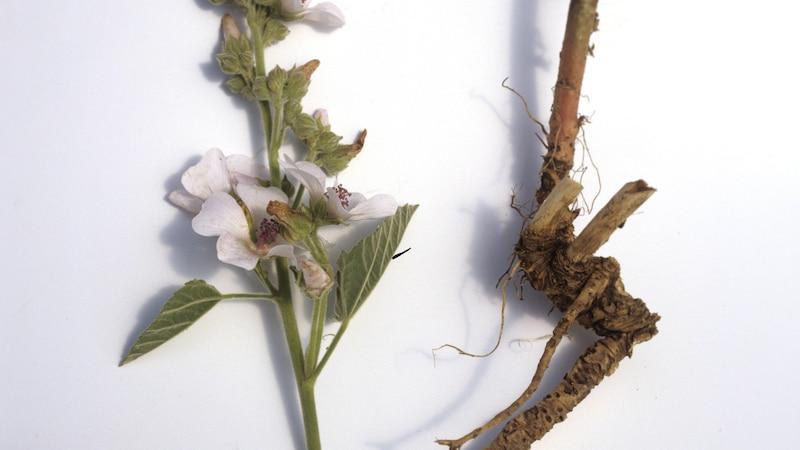 Eibischwurzel-Tee: Anwendung und Wirkung im Überblick