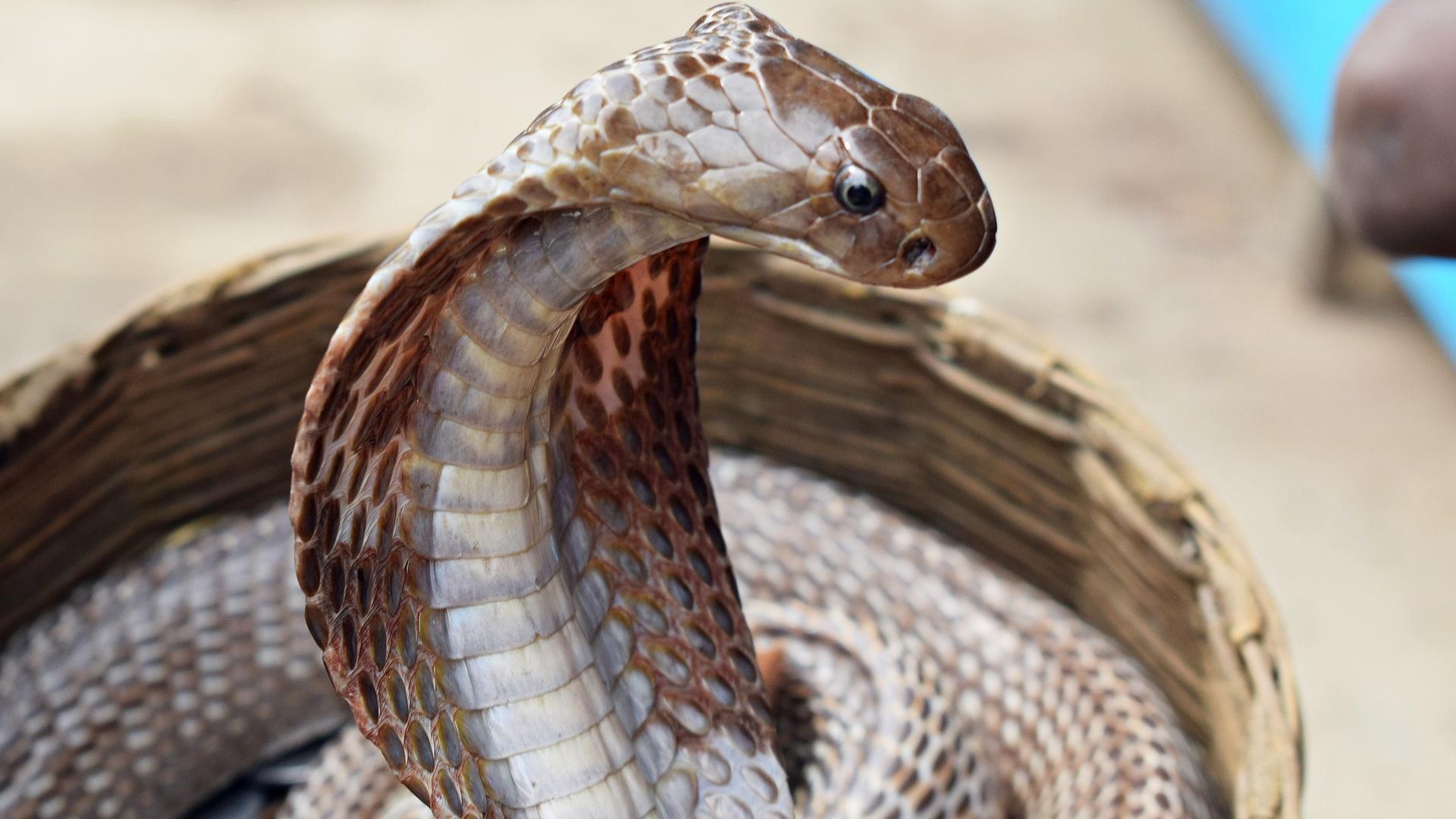 Der Kobra-Effekt: Herkunft und Bedeutung