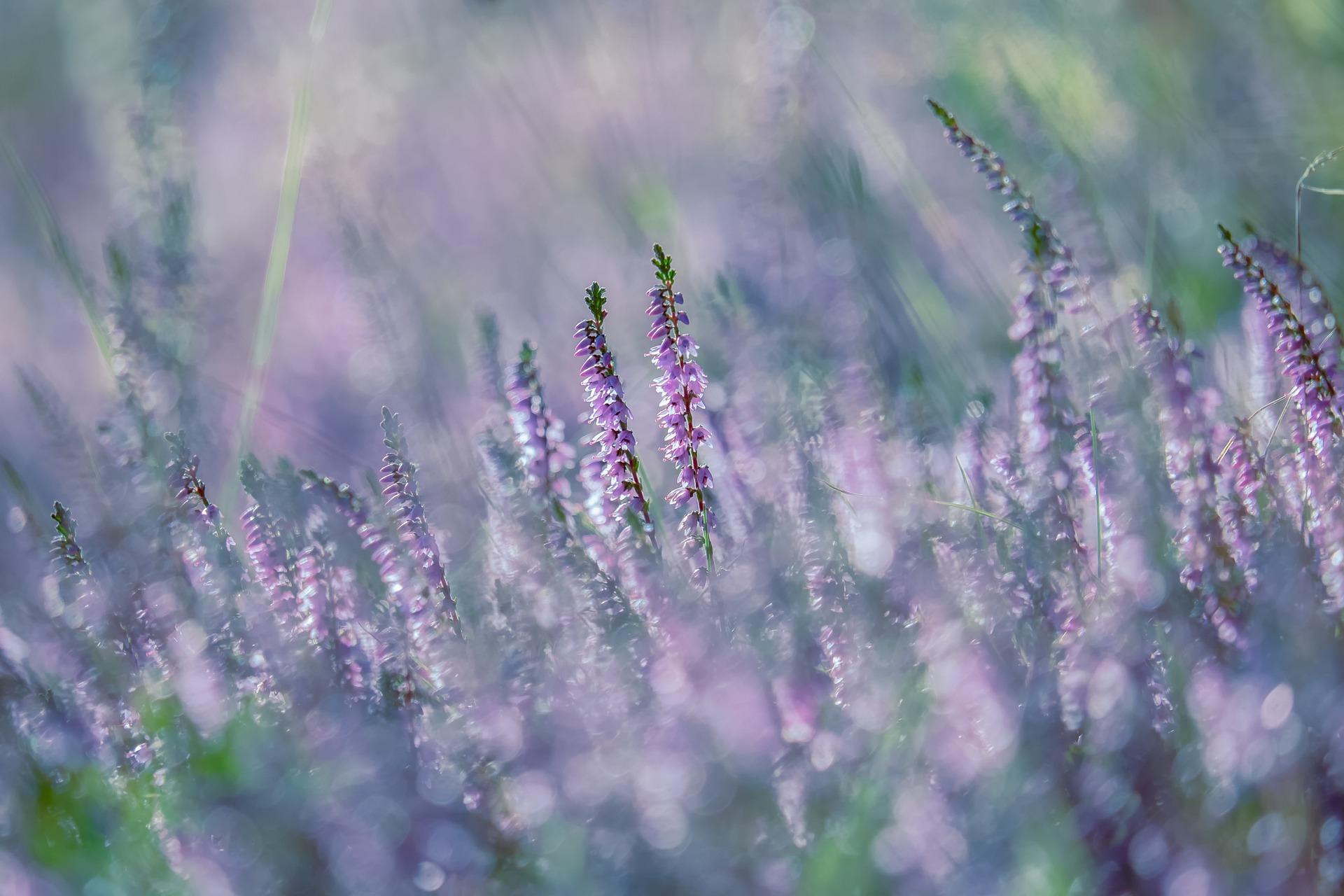 Ein Grab bepflanzt mit Heidekraut strahlt Wehmut und schöne Melancholie aus.