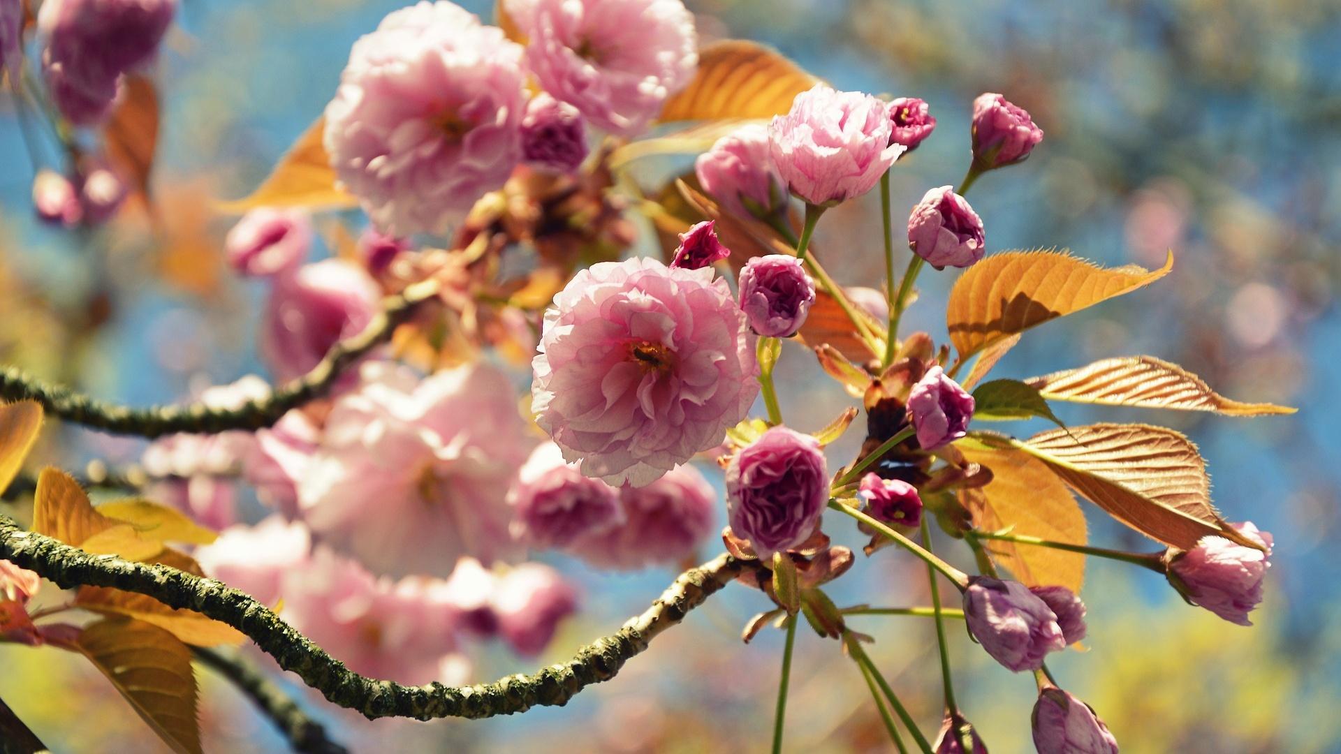 Die japanische Nelkenkirsche gehört zu den schnell wachsenden Bäumen und blüht rosafarben.