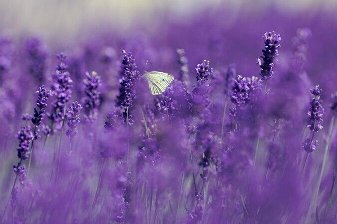 Der insektenfreundliche Lavendel braucht wenig Wasser und gehört zu den intensiv duftenden Grabpflanzen.