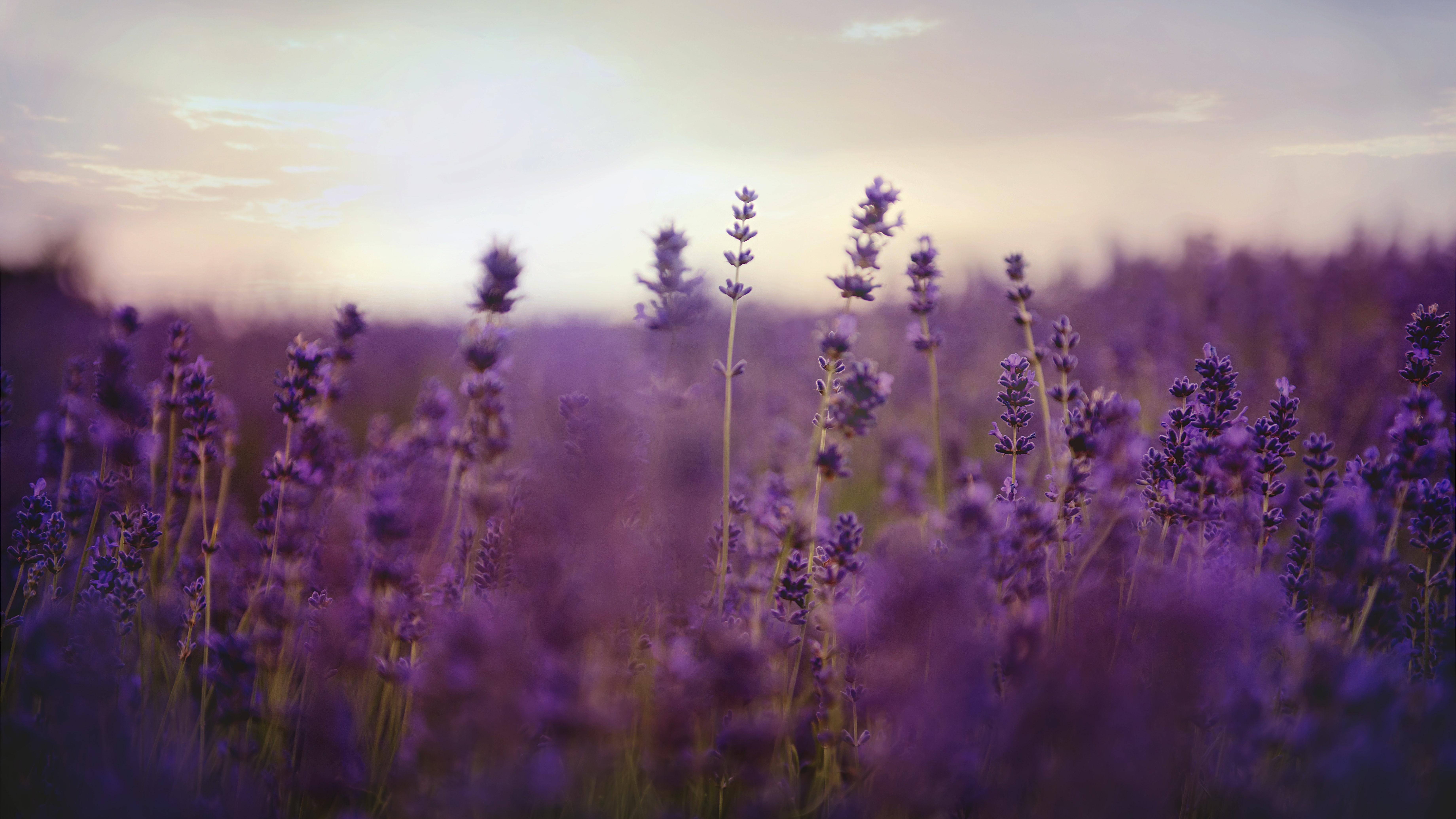 Lavendel - Diese Wirkungen hat es auf die Haut.