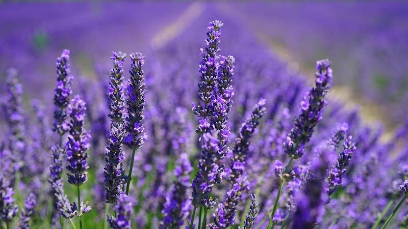 Lavendelblüten schneiden: Tipps zu Ernte und Rückschnitt