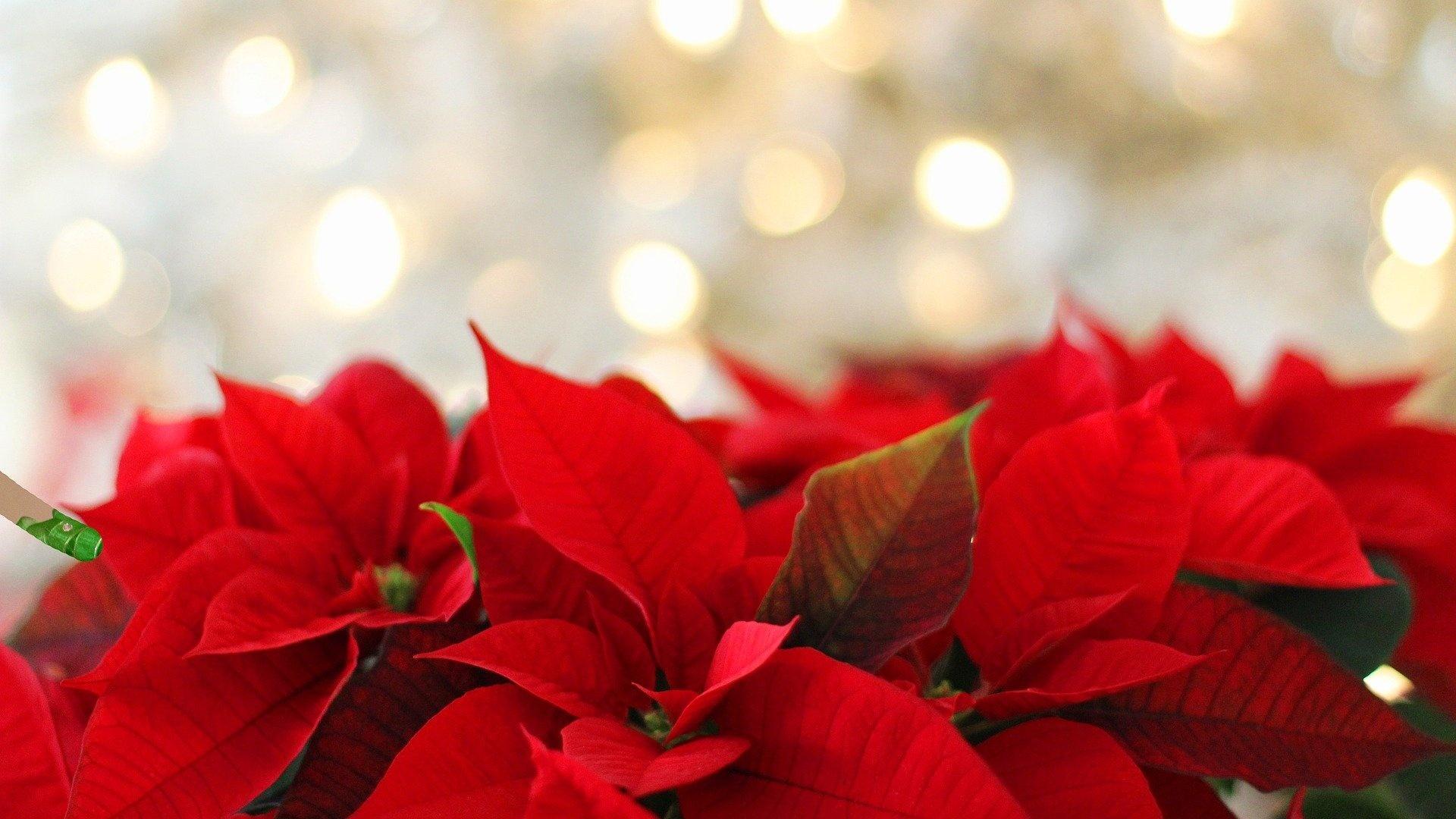 Weihnachtsstern verliert Blätter - mit diesen Tipps retten Sie ihn