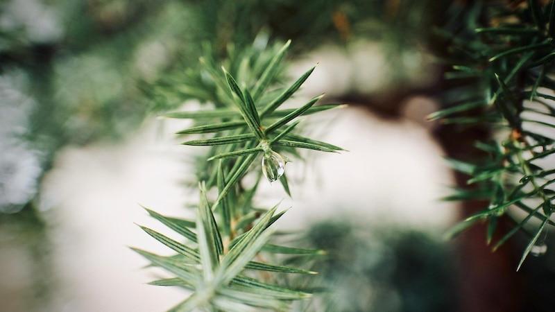 Bei der Auswahl von Pflanzen, die unter Nadelbäumen wachsen können, müssen einige Kriterien beachtet werden.