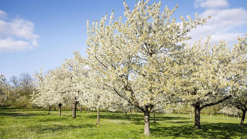 Bäume kalken: So machen Sie es richtig