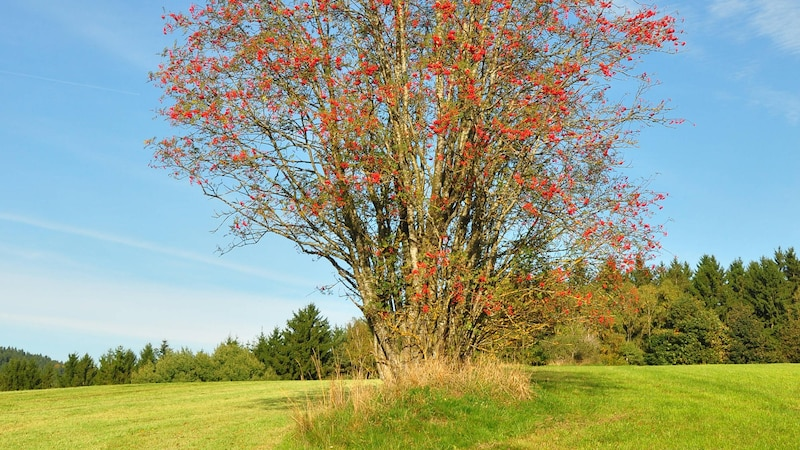 Eberesche pflanzen: Der Baum steht gerne allein und an einem sonnigen Standort