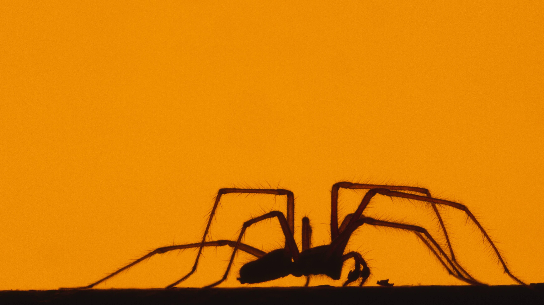Stimmt dieses Gerücht: Essen wir Spinnen im Schlaf?