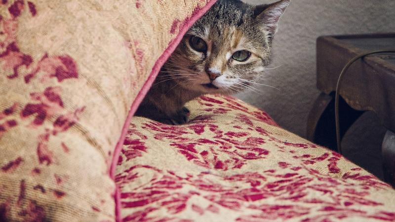 Silvester mit Katze: So nehmen Sie ihr die Angst