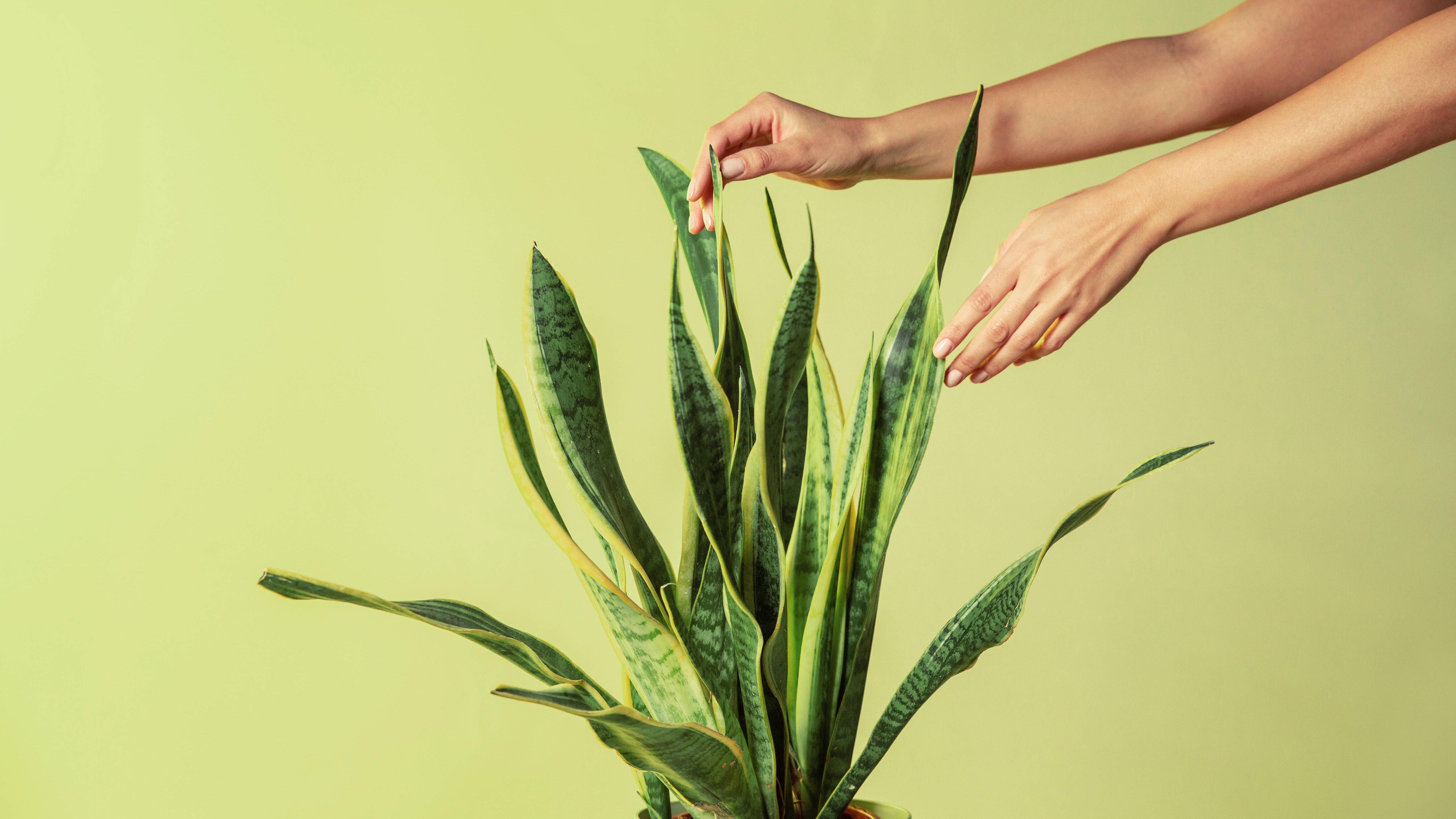 Bogenhanf-Blüte: Was Sie darüber wissen sollten