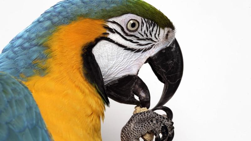 Das richtige Futter für Ihren Papagei: Worauf Sie achten sollten
