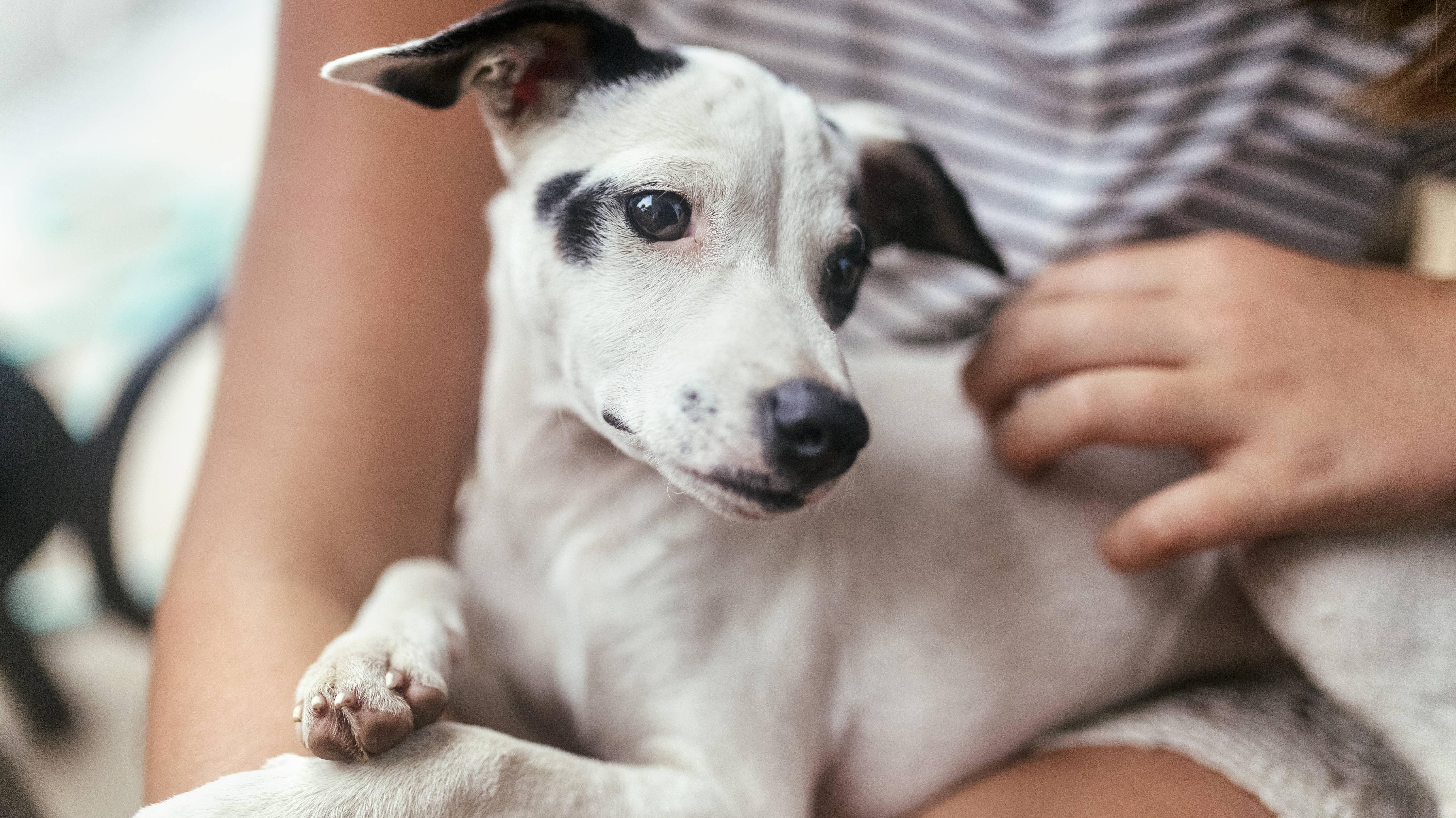 Massagen helfen dabei, einen überdrehten Hund zu beruhigen.