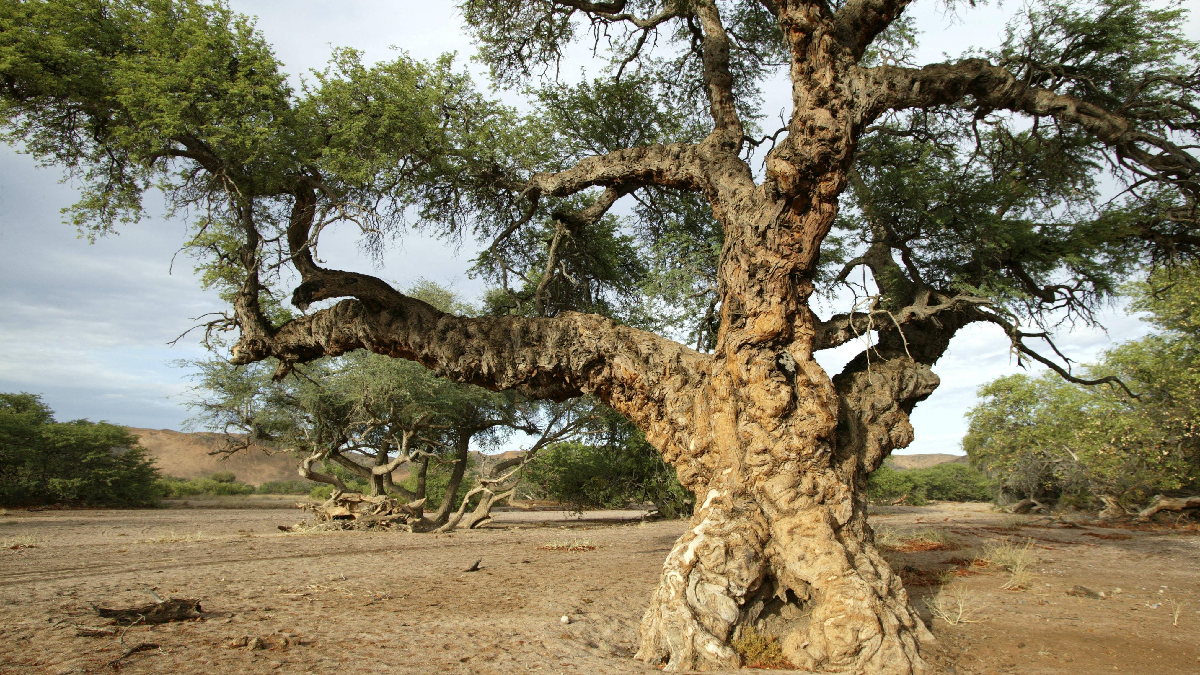 Baobab: Eigenschaften und Wirkung des afrikanischen Superfoods