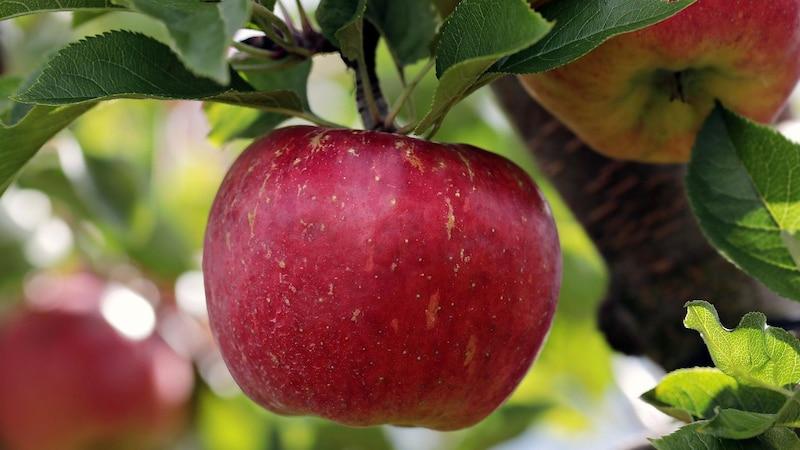 Äpfel sind für eine Ernährung gegen Arteriosklerose bestens geeignet.