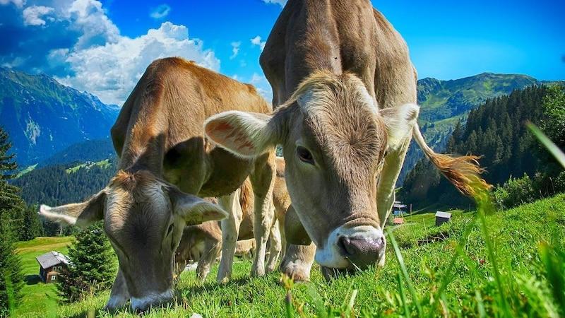 Darum geben Kühe immer Milch: Was Sie darüber wissen sollten