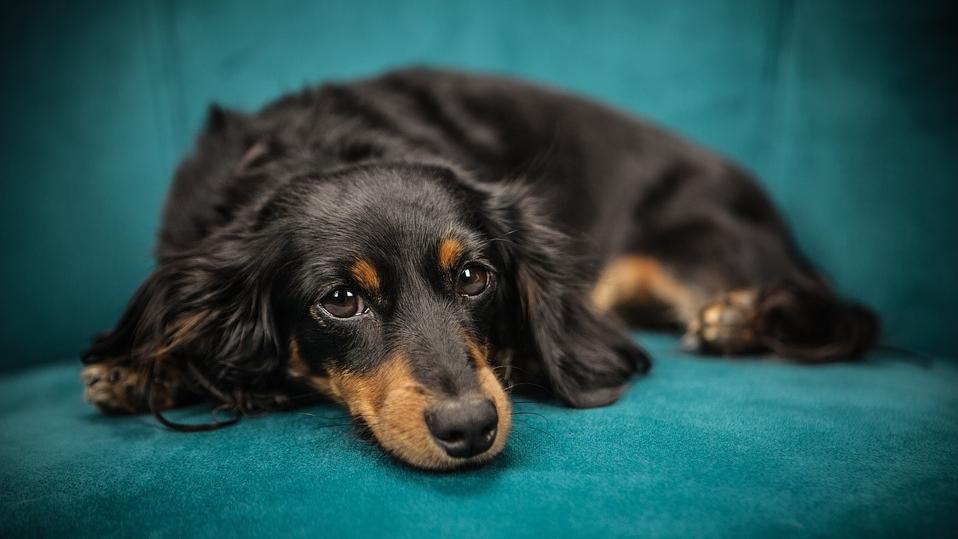 Wenn eine Leberfunktionsstörung nicht erkannt und behandelt wird, kann es passieren dass der Hund an Leberversagen stirbt.