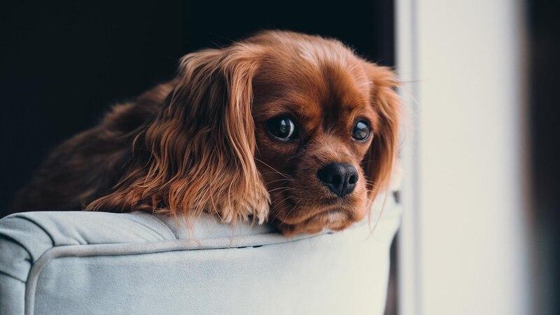 Ab einer Körpertemperatur von 40 Grad Celsius hat ein Hund Fieber.