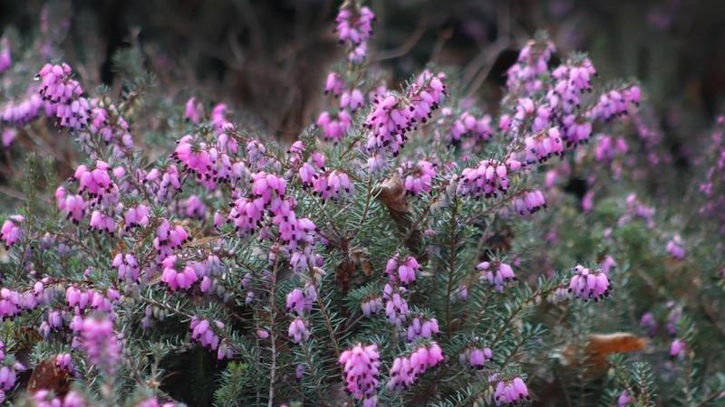 Die Winterheide braucht besondere Pflege, damit das Heidekrautgewächs lange in Ihrem Garten überlebt.