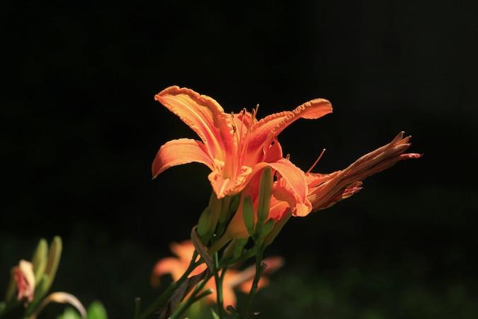 Lilien düngen - so geht's
