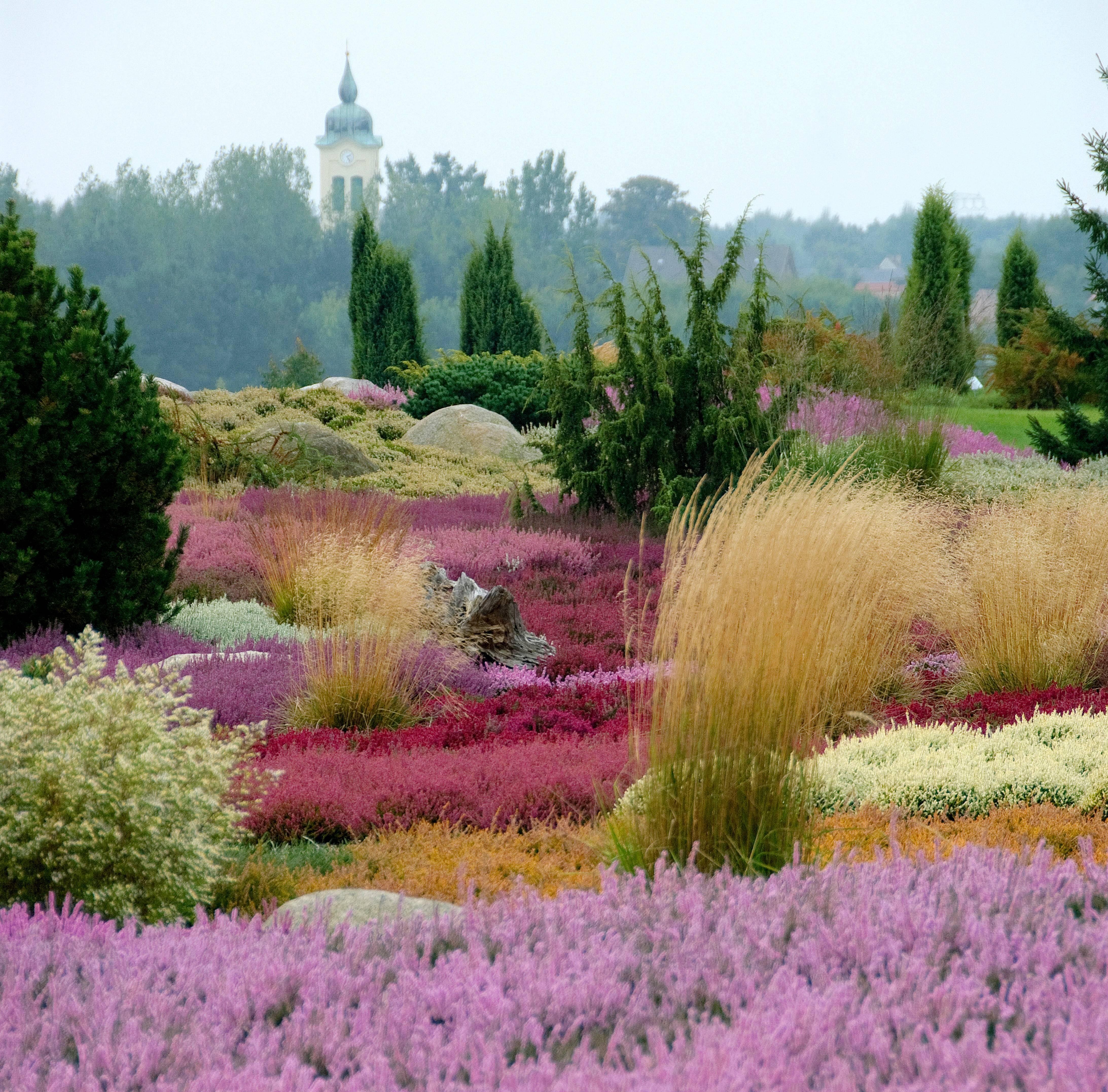 Wenn Sie Heidekraut richtig pflanzen und pflegen, können sich üppige Blütenteppiche bilden.