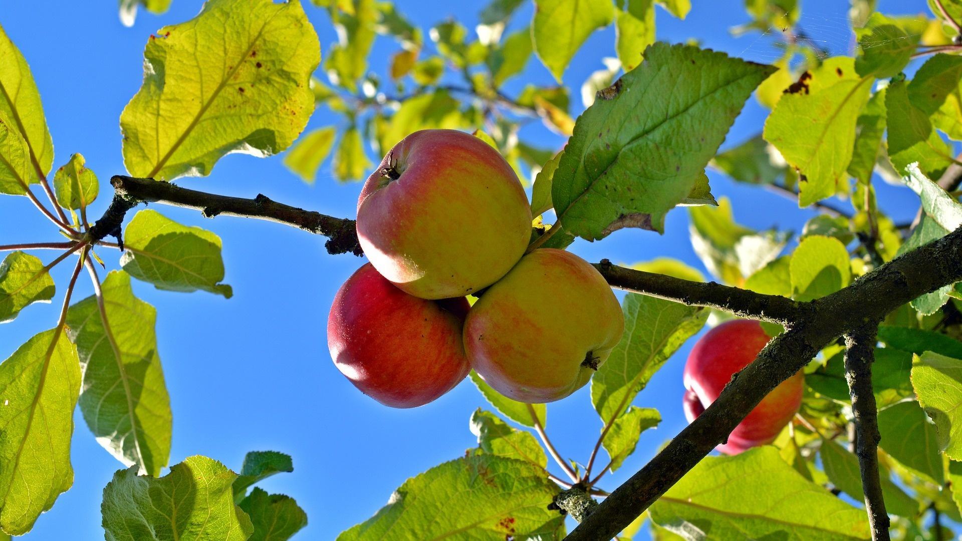 Die Erntezeit von Boskoop-Äpfeln beginnt im späten Herbst. Ein reifer Apfel lässt sich dabei durch leichtes Drehen einfach vom Baum lösen.